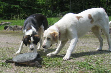 Two dogs investigate a large snapping turtle